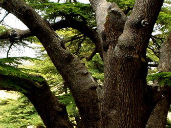 Cedars of God (Arz Al Rab)
